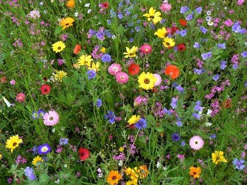 Для создания на участке эффектной цветущей поляны идеально подойдет мавританский газон