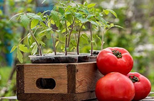 Посадка и выращивание помидоров в условиях приусадебного овощеводства – занятие очень ответственное