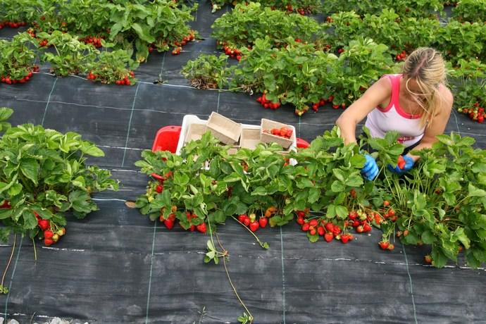 Высаживать растения в открытый грунт в зависимости от климатических условий начинают в разный период