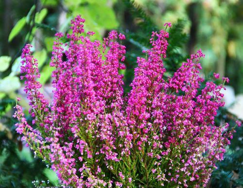 Садовый вереск – популярный и достаточно распространённый кустарник
