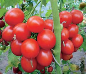 Томаты Верлиока и Верлиока плюс заслужили высокие оценки садоводов