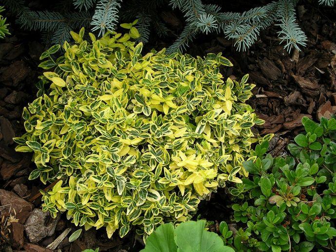 Бересклет Форчуна – невысокое вечнозеленое кустарниковое растение