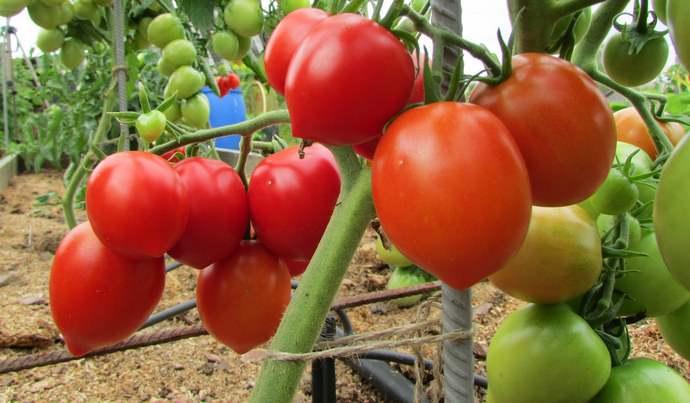 Среднераннего срока вызревания сорт Буденовка рассчитан на получение урожая через 105−110 дней после появления полных всходов