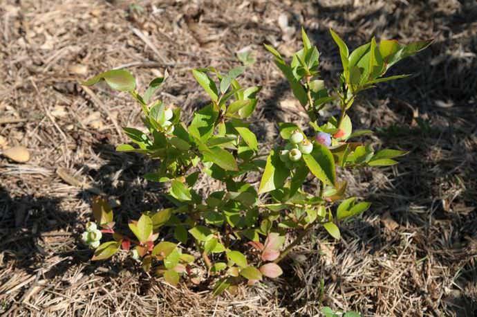 Не следует пренебрегать мульчированием, которое позволит сохранить достаточные для роста и развития растения показатели влажности в верхнем почвенном слое
