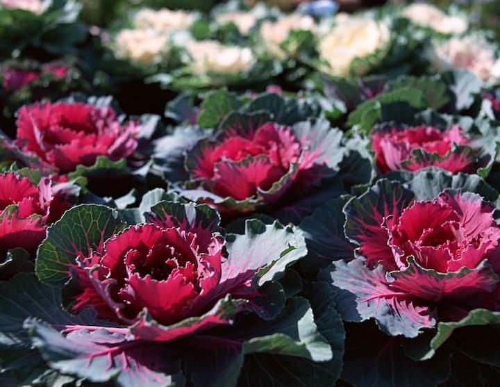 Декоративная капуста лучшие сорта выращивание