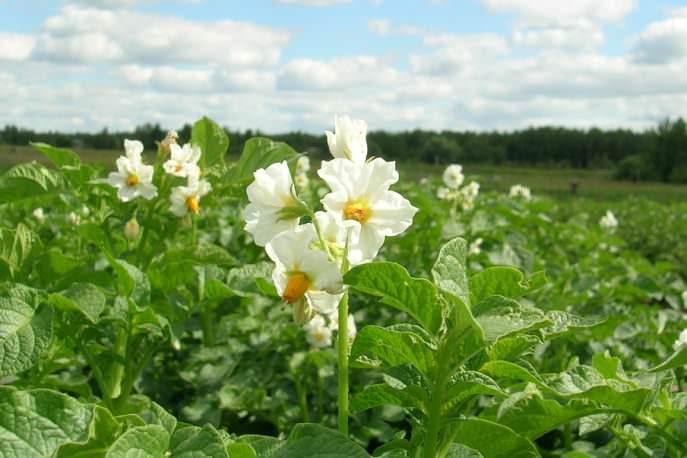 Венчики цветков картофеля «Дельфин» белые, с широкими долями