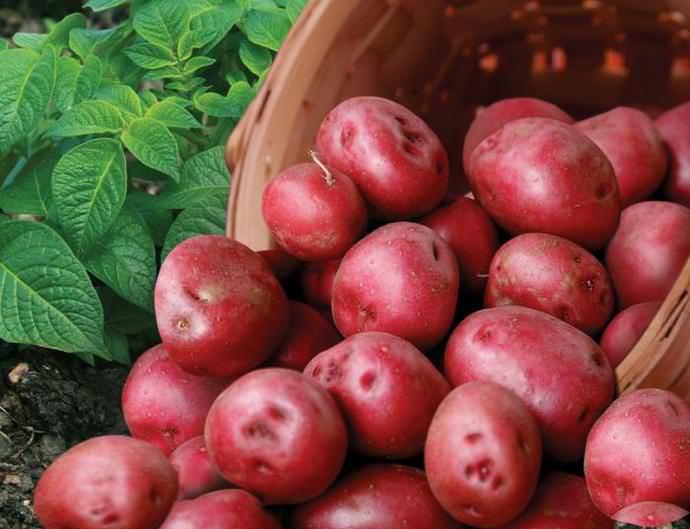 Картофель «Романце» имеет хорошие вкусовые качества