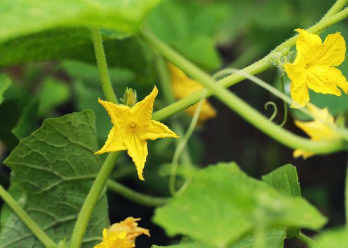 Гибрид «Клавдия f1» характеризуется преимущественно женским типом цветения