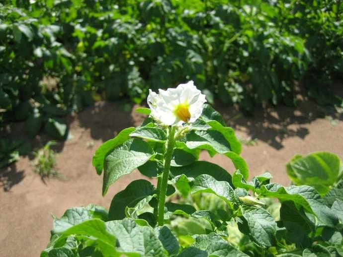 Картофель «Скарб» формирует кусты средней высоты и промежуточного типа