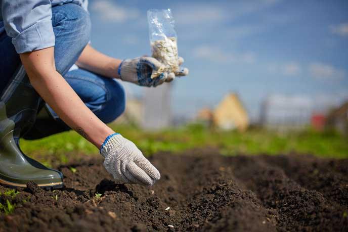На гряды открытого грунта сеять семена «Атлантис f1» нужно не раньше первой декады мая