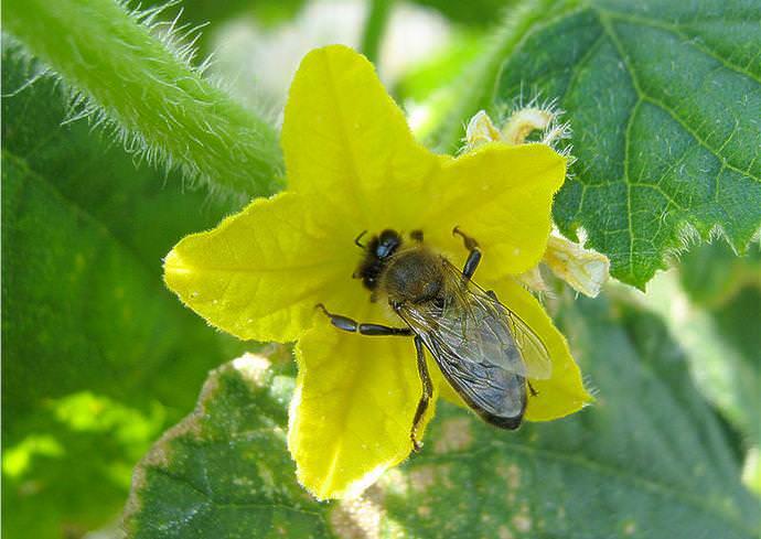 Огурцы «Мурашка f1» являются пчелоопыляемой гибридной формой