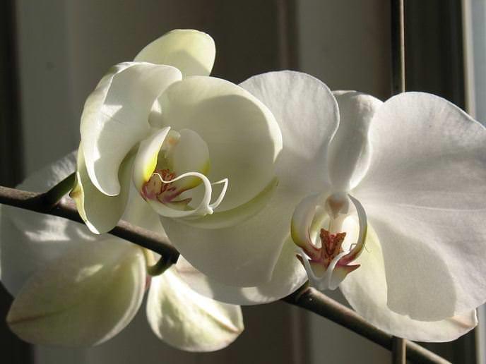 «Фаленопсис» – это наиболее простая в содержании комнатная орхидея, которая может цвести практически без отдыха