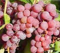 Мурс эрли виноград
