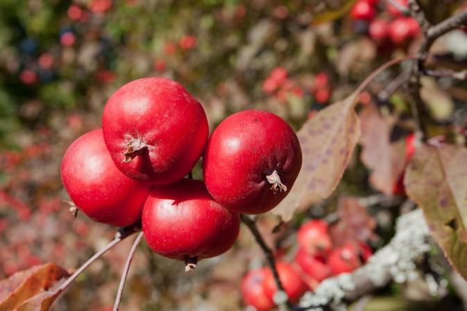 «Китайка» получила название из-за внешней схожести своих листьев с листьями китайской сливы
