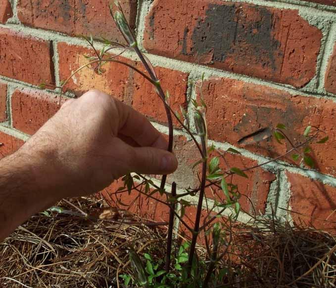 Клематисы на даче: выбор сорта и правила агротехники