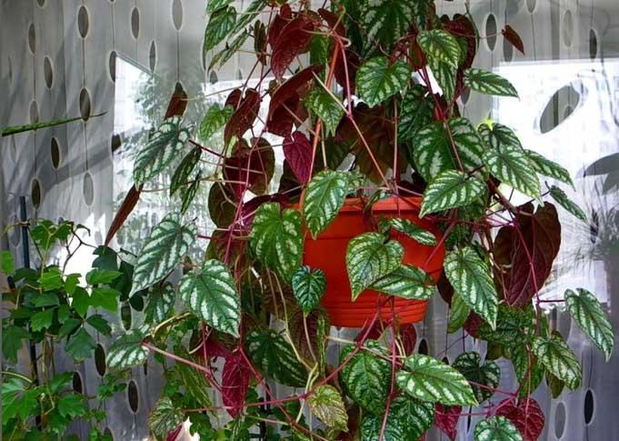 Циссус разноцветный является самым декоративным и привлекательным циссусом в комнатном цветоводстве