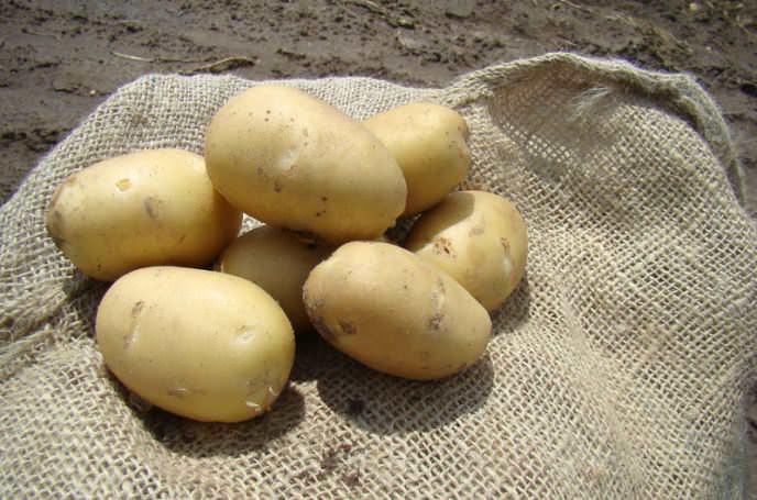 Картофель «Ривьера» предназначен как для употребления в свежем виде, так и для длительного хранения