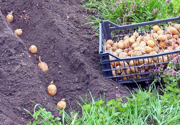 Определить точные сроки посадки картофеля сорта «Удача» в разных регионах практически невозможно