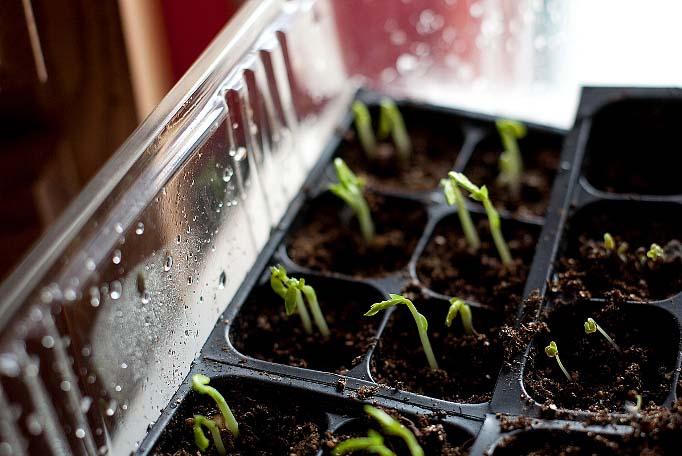Огурцы «Престиж-f1» следует сеять на рассаду приблизительно за месяц до высаживания на участок