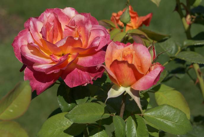 Саженцы чайно-гибридных роз цветут приблизительно один месяц, а затем растения отдыхают, в зависимости от сорта, от двух недель до месяца