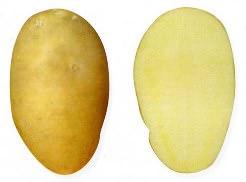 Картофель «Тулеевский» – один из наиболее популярных сортов