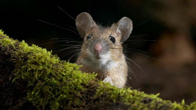В ходе работы «ЭкоСнайпер» успешно изгоняет с территории мышей и крыс