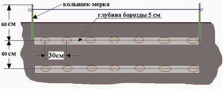 Схема посадки картофеля «Накра» стандартная