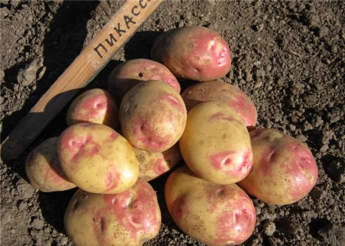 Картофель «Иван-да-Марья» — народное название выведенного селекционерами из Голландии сорта «Пикассо»