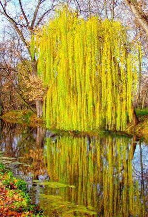 Отражение плакучей ивы создает неповторимый романтичный образ, который ценится в оформлении водоемов