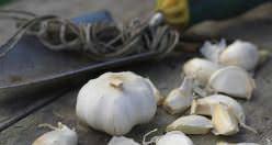 Чеснок является многолетним травянистым растением