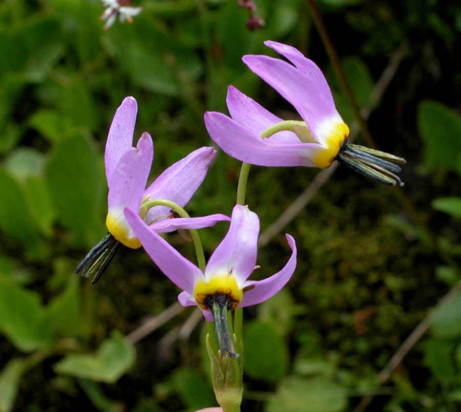 В России цветок называли паникадильником