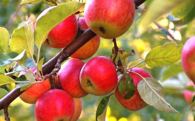 Уход за яблоней предполагает внесение подкормок, осуществление полива и проведение обрезки