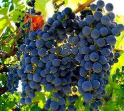 Виноград «Изабелла» является одним из немногих естественных гибридов, созданных самой природой