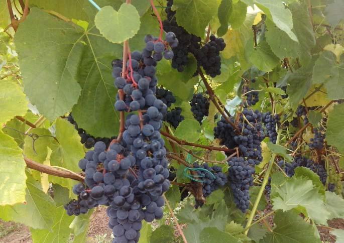 Вкус плодов винограда «Загадка Шарова» считается одним из самых лучших среди зимостойких сортов