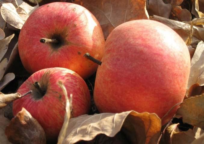 В осенний период ведут сбор опавших яблок, в которых сидят гусеницы
