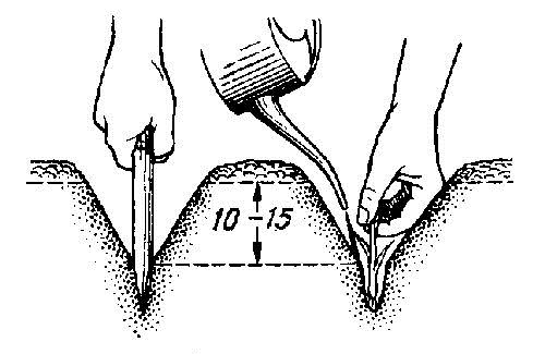 Высевать лук-порей в грунт в южных регионах России начинают с 15 мая