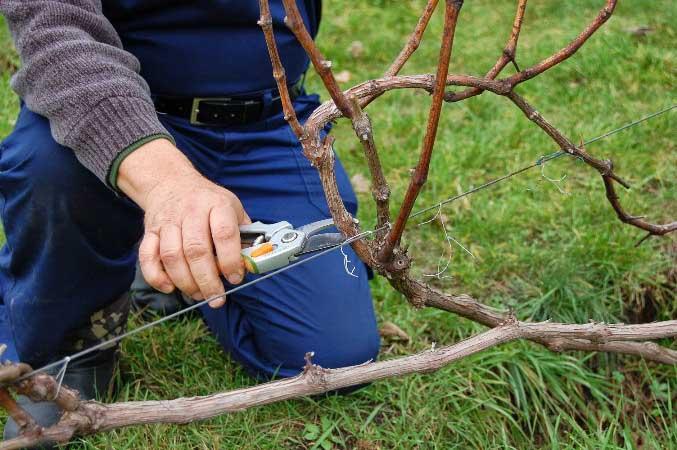Необходимо соблюдать стандартные правила обрезки и формирования виноградной лозы