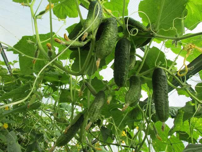Выращивать партенокарпические огурцы рекомендуется в тепличных условия