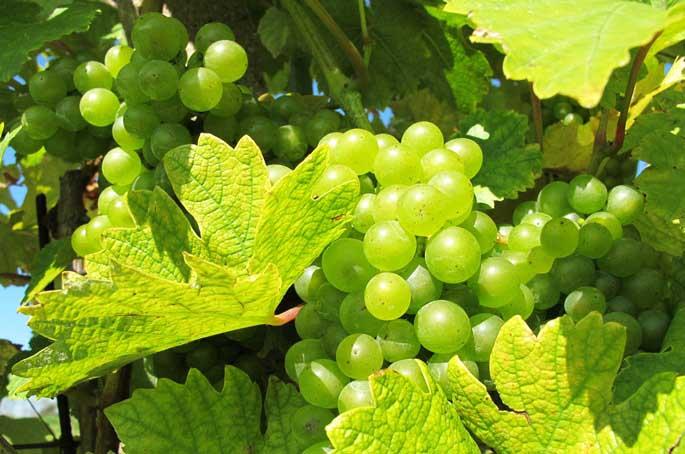 В составе плодов белого винограда находятся полезные вещества, необходимые для развития организма человека