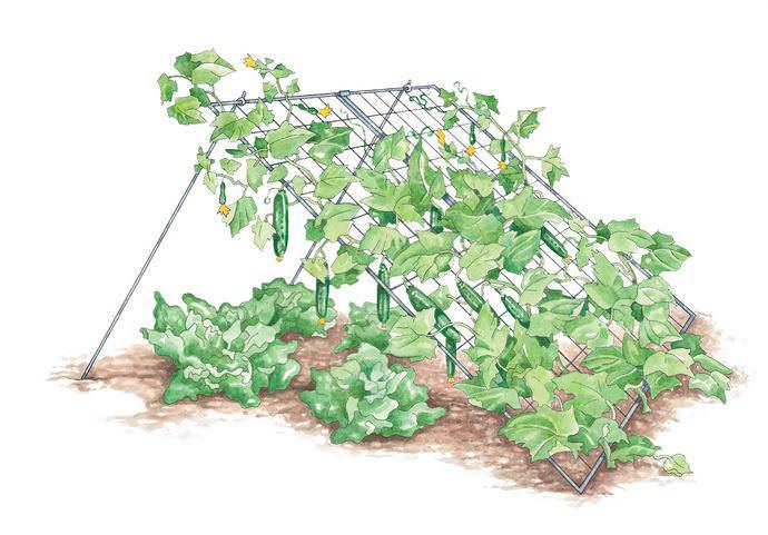 При выращивании шпалерным способом сорта «Пасамонте f1» допускается более плотная посадка