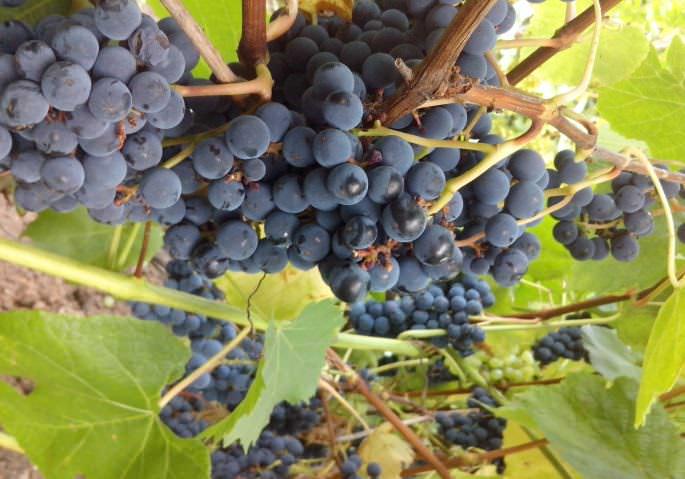 «Загадка Шарова» прекрасно плодоносит при бесштамбовой форме выращивания