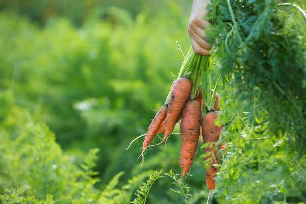 Морковь рекомендуется убирать осенью до наступления дождливой погоды