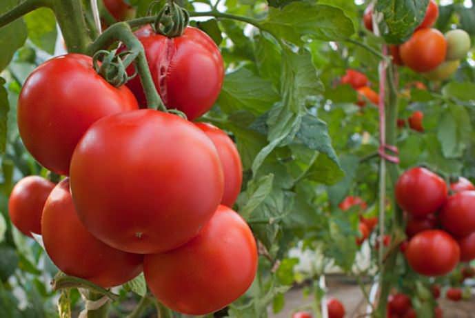 Принцип И.М. Маслова основан на рациональном использовании заложенного в растениях потенциала, который при стандартных способах выращивания задействован менее чем на половину