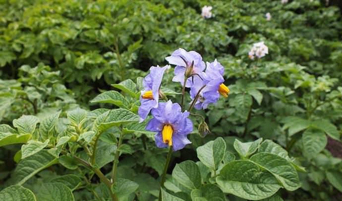 Цветение картофеля «Синеглазка» недостаточно обильное, длительное