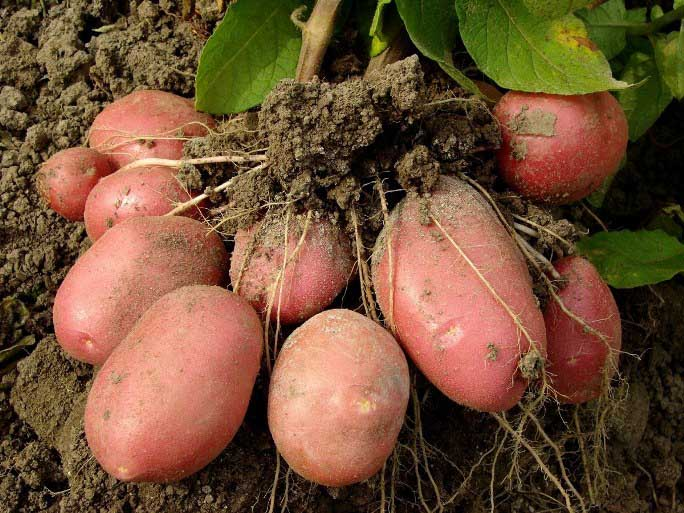 Картофель «Рябинушка» выгодно отличается от многих сортов российской и зарубежной селекции своей высокой урожайностью