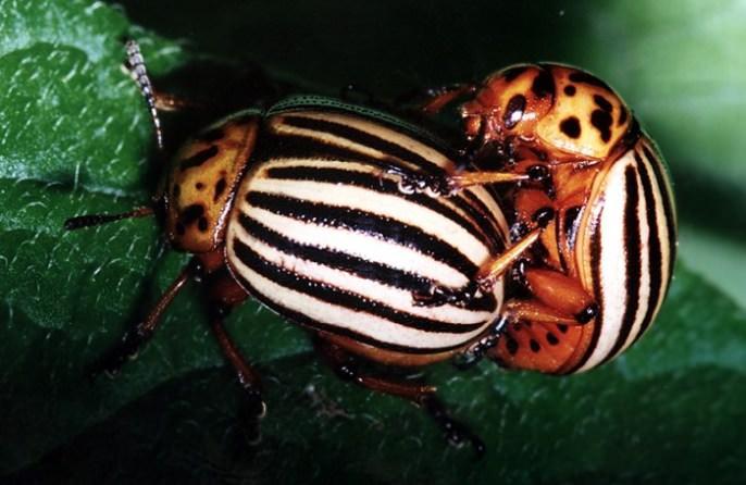 При уходе за картофелем «Барон» необходимо своевременно защитить посадки от колорадского жука с применением наиболее современных и эффективных препаратов