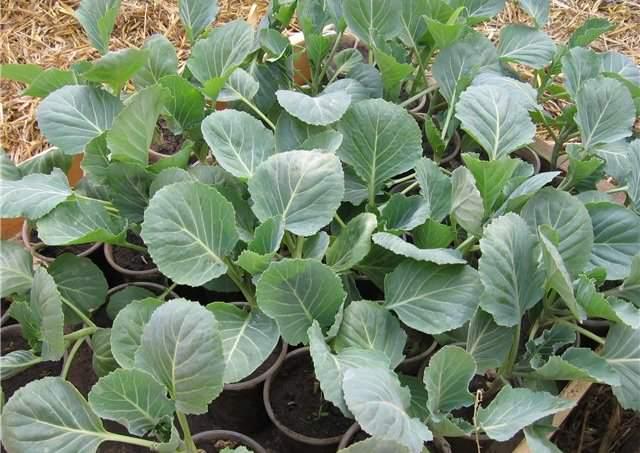 Капусту сорта «Айсберг» можно выращивать рассадным способом