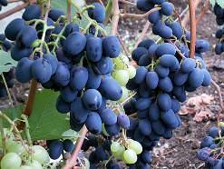 Виноград «Чарли» в нестабильных условиях Подмосковья даёт шанс получить урожай
