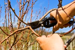Успешное выращивание персика основано на формировании куста