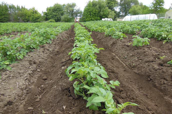Необходимо регулярно проводить окучивание картофеля «Югра»